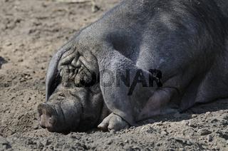 chinesiches Maskenschwein