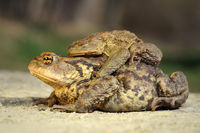 brown common toads mating in spring ( Bufo )