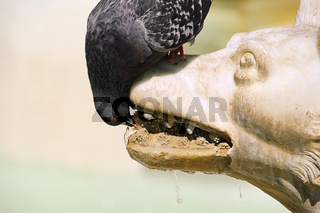 Taube trinkt - Pigeon drinking 01