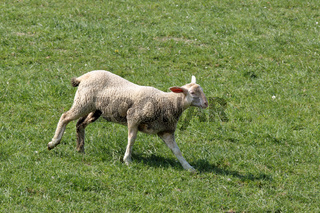 Laufendes Lamm