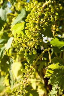 Closeup of small green grapes
