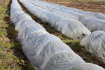 Plants under plastic sheeting