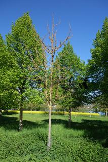 Ginkgo biloba, Ginkgobaum, Maidenhair Tree, männliche Blüten, male flowers
