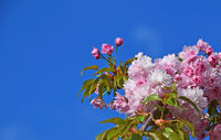 Pink cherry blossom over clear blue sky