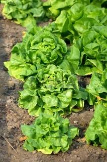 Frischer Kopfsalat im Feld