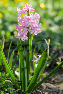 Pink hyacinth flower in spring