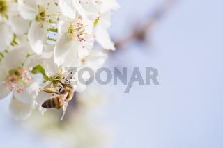 Honeybee Harvesting Pollen From Blossoming Tree Buds.