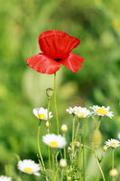 Lonely flower of wild red poppy on blue sky background with focus on flower