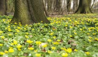 Blumenteppich aus Scharbockskraut, Nuernberg, Bayern