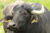 portrait of domestic water buffalo ( Bubalus bubalis )