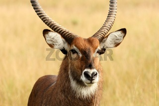 Defassa Waterbuck is watching You