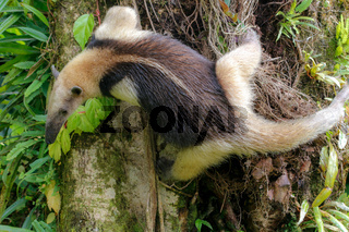 A tamandua in the Arenal National Park Costa Rica