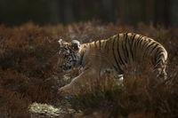 gut getarnt... Königstiger *Panthera tigris*, Jungtier schleicht durch's Buschwerk