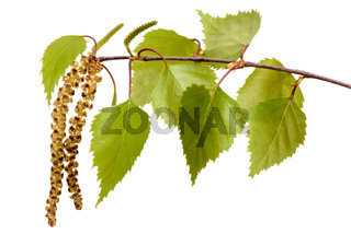 single twig with leaves of birch tree and blooming pollen isolated over white background