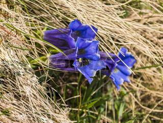 Enziane (Gentiana), bluehend, am Neunerkoepfle, Fruehling, Mai