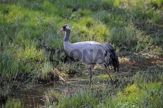 grauer Kranich, Grus grus, auf einer Sumpfwiese