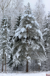 winter snow on lonely tree PARK