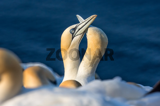 Couple of Northern gannets in breeding colony at island Helgoland