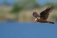 Fliegende Rohrweihe aus Ungarn