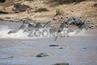 Steppenzebra Equus quagga - Tierwanderung