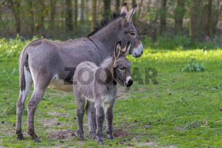 Grey Domestic Donkey