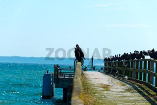 cormorants on pier