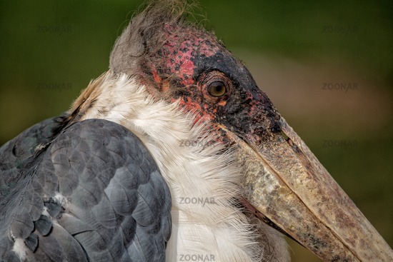 Marabou Stork South Africa