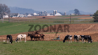 Amish Farmer Working and Cows