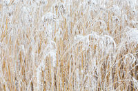 Clump of reeds with frost in winter