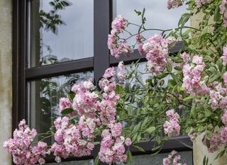 Rosen am Fenster, rosa