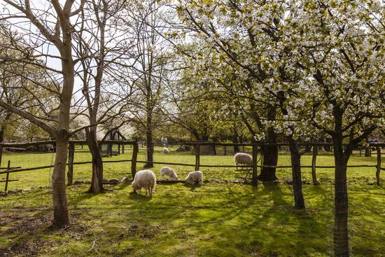 Schafe und Lämmer im Frühling, sheep with lamb in spring