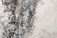 mold mycelium on damaged plaster