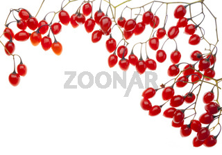 Red poisonous berries postcard