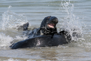 Kegelrobbe , Haliocherus grypus, Grey Seal