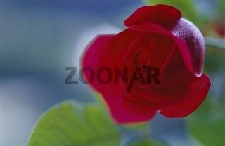 Rote Rose mit Blätter