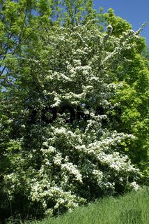 Crataegus monogyna, Weißdorn, hawthorn