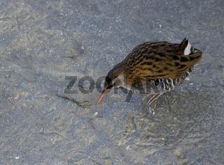 Wasserralle Rallus aquaticus