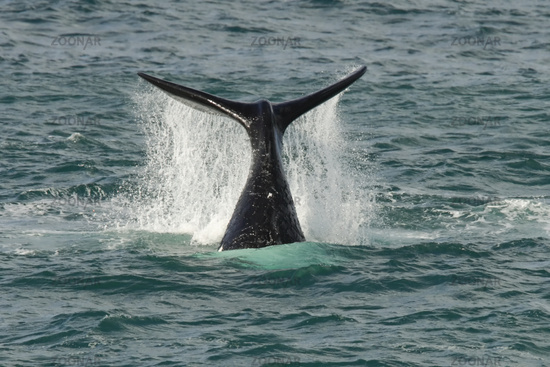 Southern Right Whale -  -  South Africa