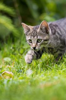 Getigertes Kätzchen