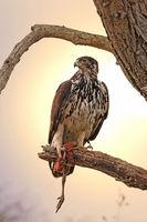 Afrikanischer Habichtsadler im Morgenlicht mit einem Bein eines Perlhuhns, Kruger NP, Südafrika, african hawk eagle with a leg of a guinea fowl, Kruger NP, South Africa