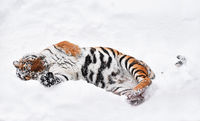 Siberian tiger playing in white winter snow