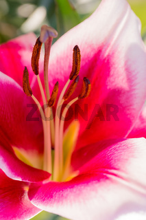 beautiful lily flower in bloom