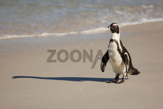 African Penguin - Brillenpenguin - Table Mountain National Park - Boulders - South Africa