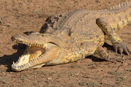 crocodile Kruger national Park