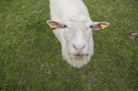 Schaf, ovis