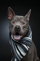beautiful thai ridgeback dog in grey scarf
