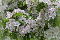 Blühender Zierapfel (Malus spec.)