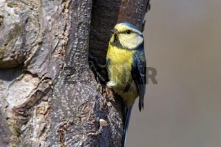 Blaumeise am Nest