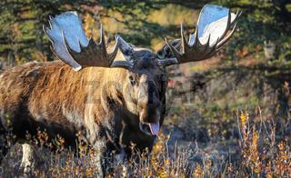 Elchbulle in Alaska