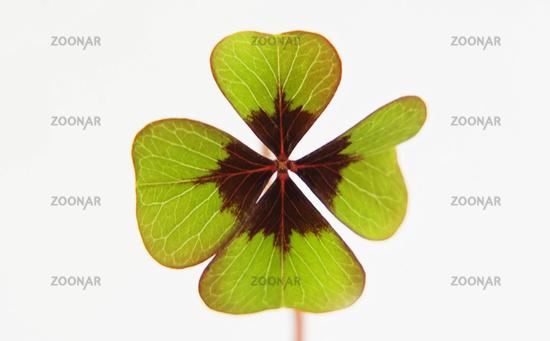 dreiblättriges kleebatt zierpflanze